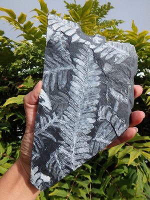 300 Million Year Old XL FERN FOSSIL From North Eastern Pennsylvania, USA - Earth Family Crystals