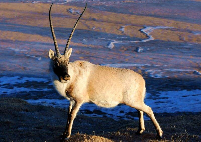 A single Tibetan Antelope standing on the plateau.
