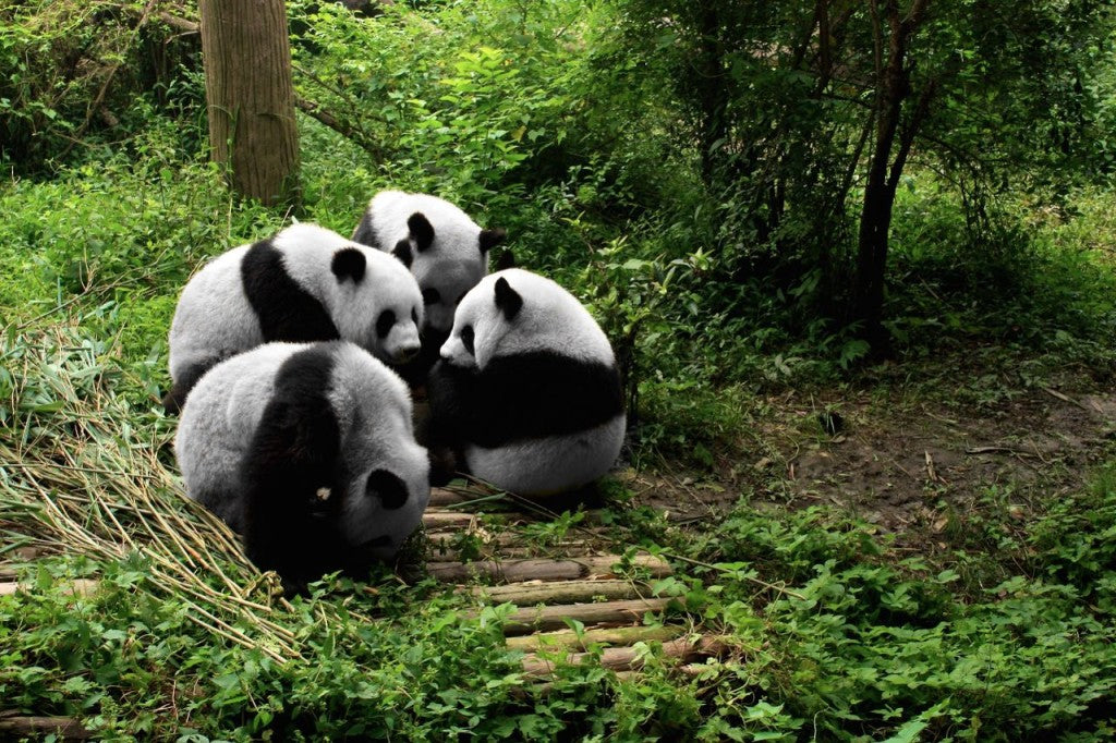 Chengdu Giant Panda Breeding Research Center
