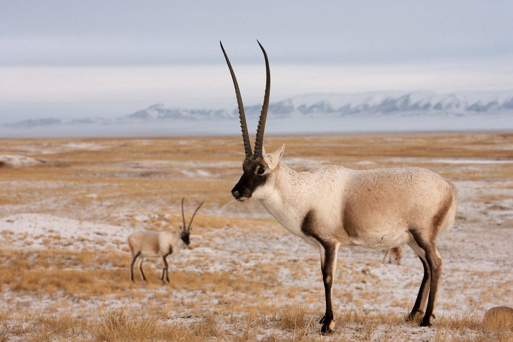 A full grown Tibetan Antelope with a younger calf.