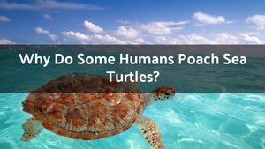Why Do Some Humans Poach Sea Turtles?
