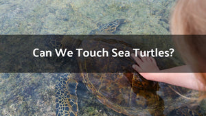 Can We Touch Sea Turtles?