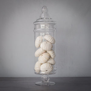 Faux Medium Apothecary Jar with - with 10 Sea Urchins