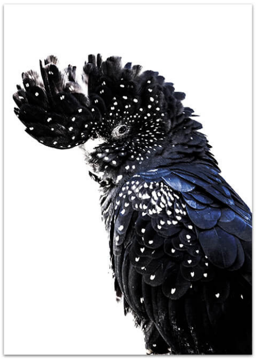 Love your space Black Cockatoo photographic Print |The Home Maven