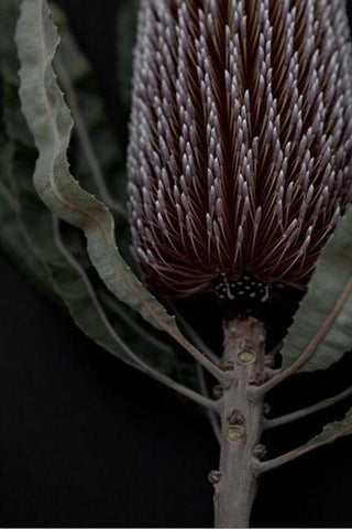 Love your space Dark Banksia II -photographic Print - $35 - $119 | The Home Maven