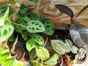 New houseplants just listed online today! Some can be found in our houseplant shop in Saint Leonard.
