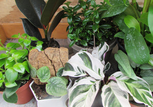 New houseplants just listed today! White Fusion,  Shingle Plant, Cebu Blue and more! You can buy online we can either ship or you can pick up your houseplants in the Saint Leonard Plant Shop