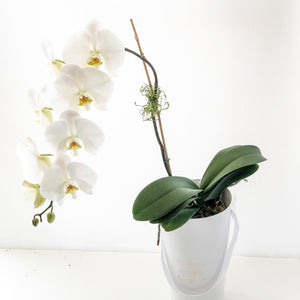 THE PURITY ORCHID CONE BOITE