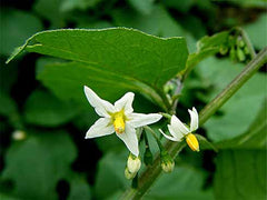 Black Nightshade