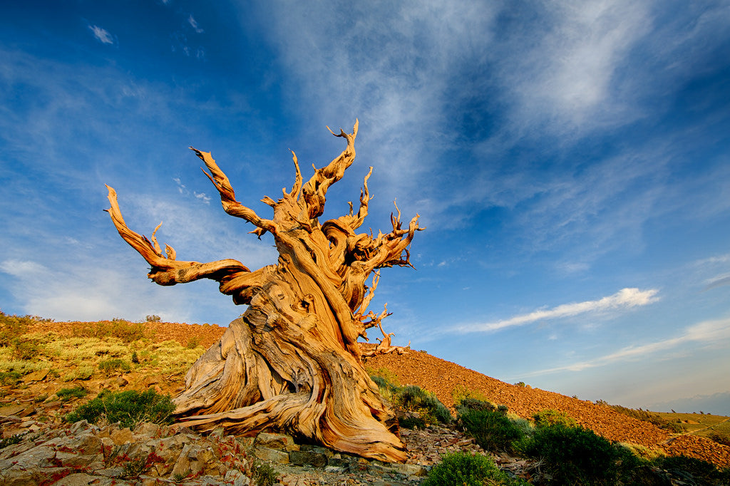 6 Facts About Methuselah, The World's Second Oldest Tree