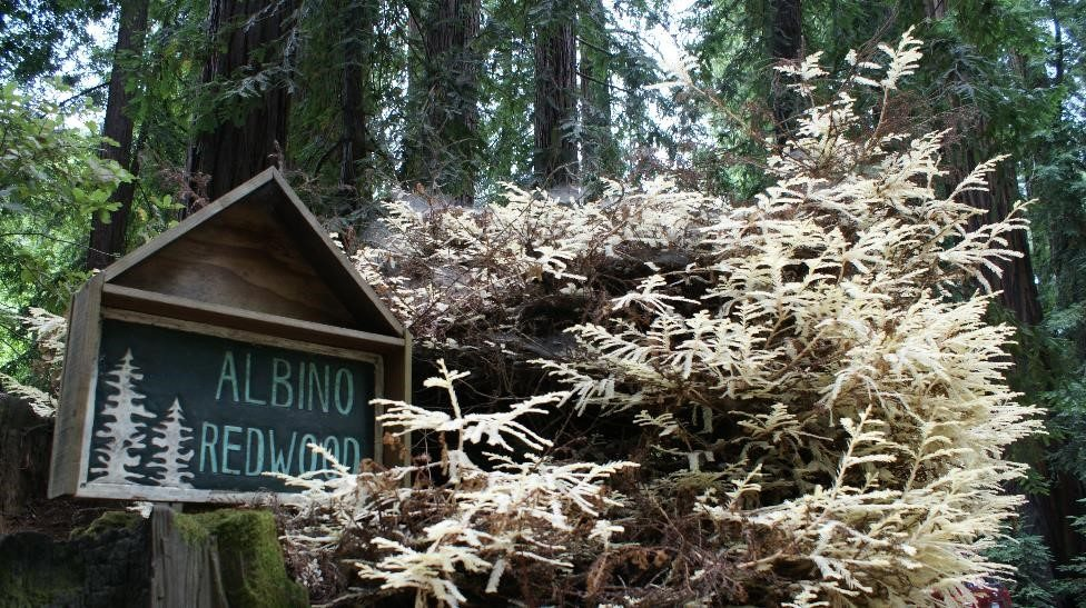 Meet The Albino Redwood, The 'Phantom Of The Forest'