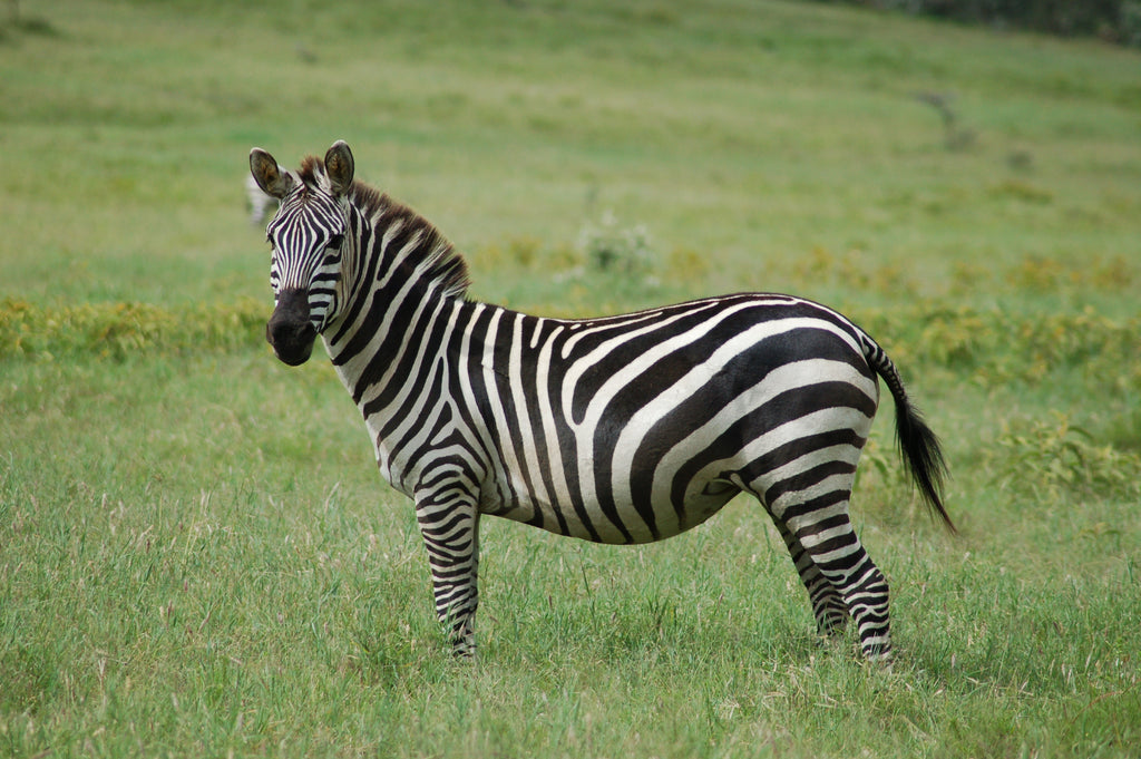 For The First Time In 50 Years, Zebras Have Returned To Tanzania
