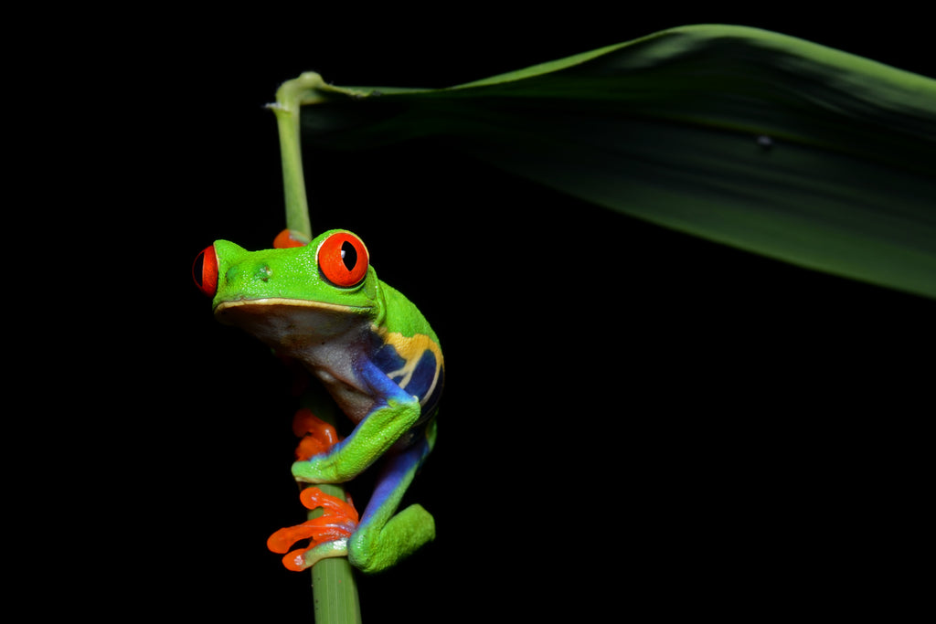 10 Mind Blowing Facts About The Red-Eyed Tree Frog