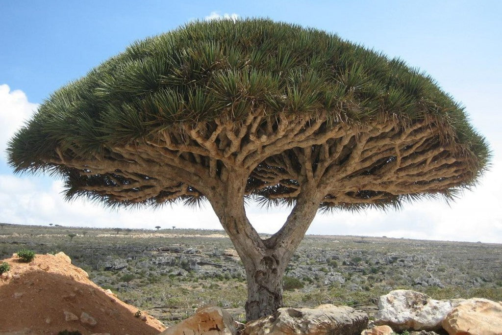 5 Of The Weirdest Trees On Earth