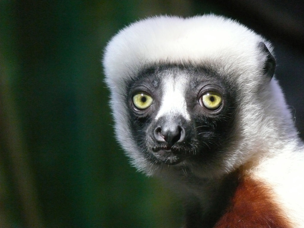 Nearly Every Lemur Species Threatened With Extinction