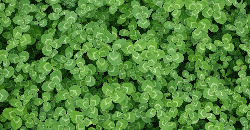 Why You Should Grow A Clover Lawn Instead Of Grass