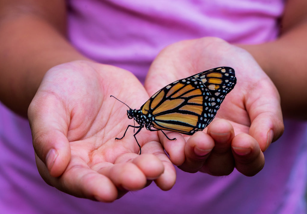 Monarch Butterfly Population Declines 86% In California - Here's What You Can Do About It
