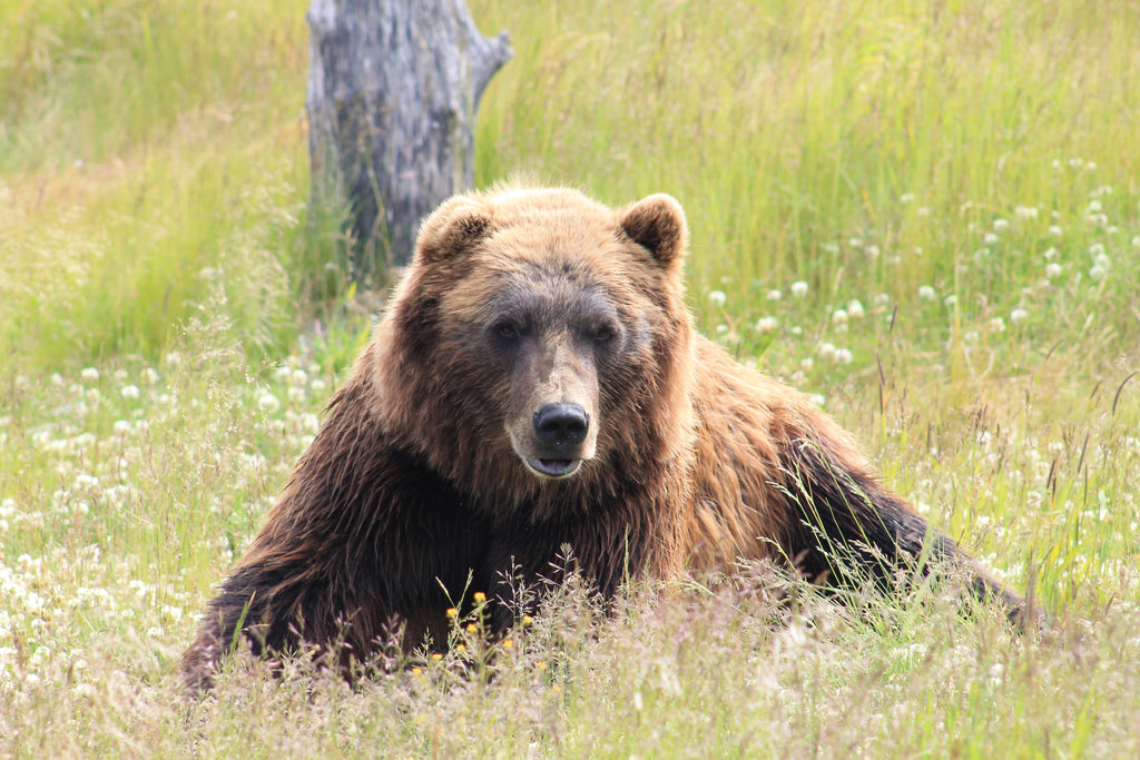 British Columbia Moves To Ban Grizzly Bear Hunt
