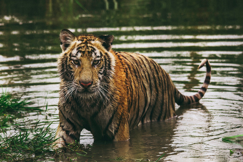 Nepal's Endangered Bengal Tiger Population Has Doubled Since 2009