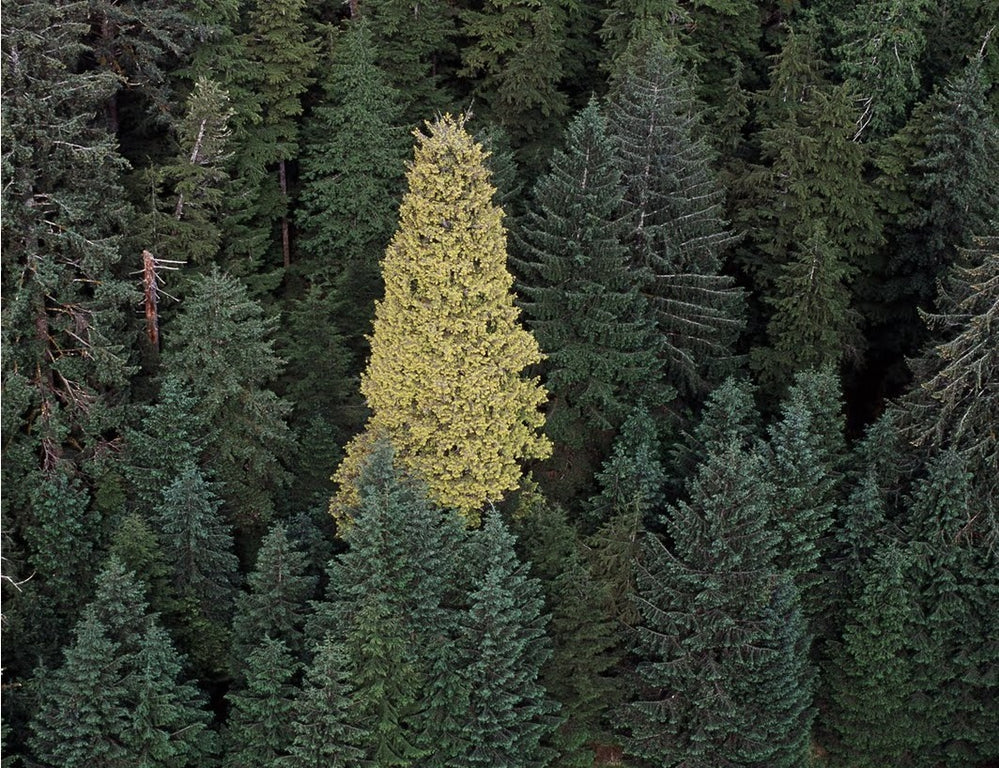 The Story of Kiidk'yaas, Canada's Mythic Golden Spruce