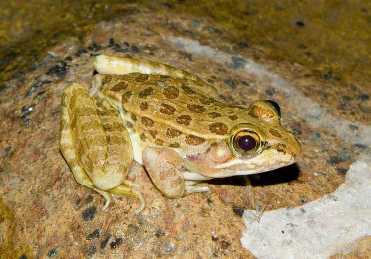 Newly Discovered Frog Species Already At Risk Of Extinction