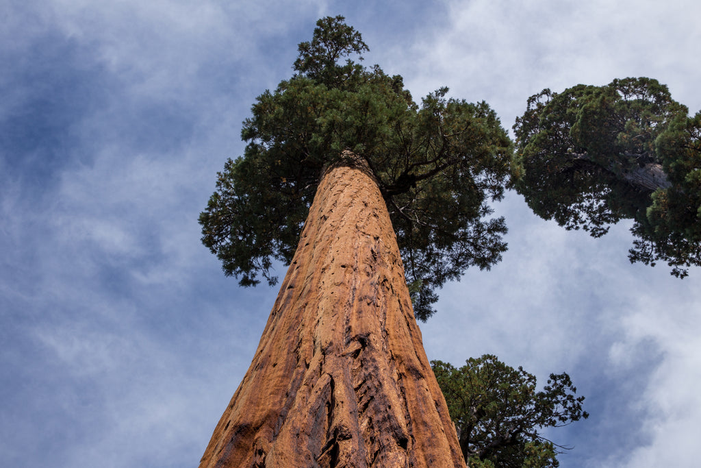 15 Incredible Facts About Giant Sequoia Trees – tentree