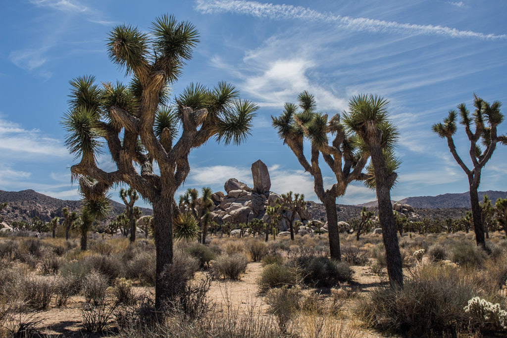 10 Facts About The Incredible Joshua Tree