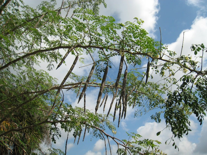 10 Benefits Of The Moringa Oleifera Tree