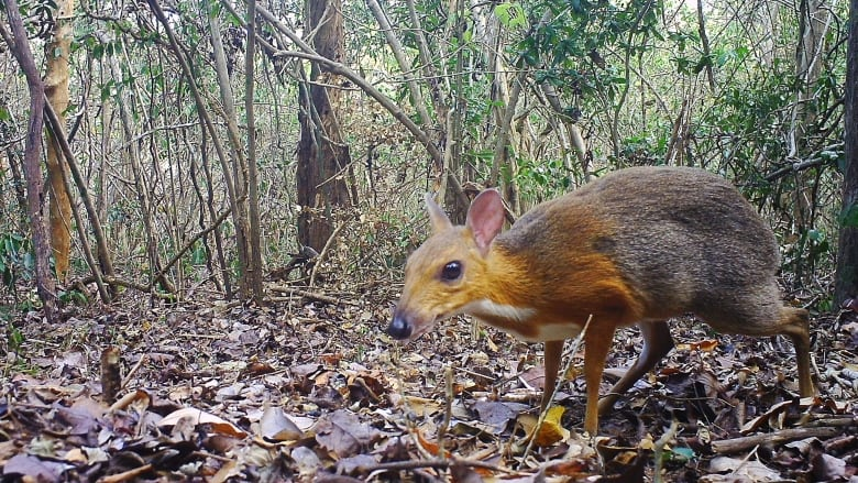 Rare Forest-Dwelling Mouse Deer Photographed After Disappearing For Decades
