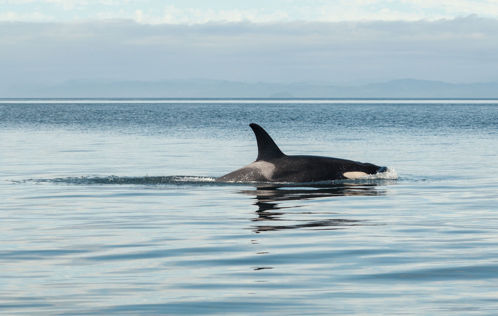 Orca Populations Are Collapsing - Here's How You Can Help
