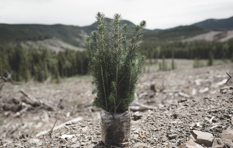 How To Plant A Pine Tree From Seed