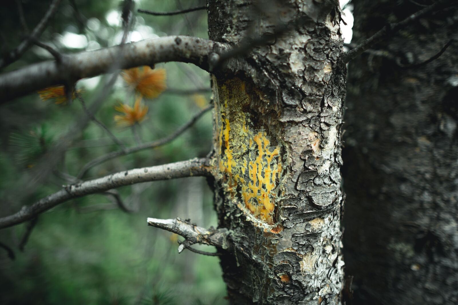 blister rust impacting a whitebark pine