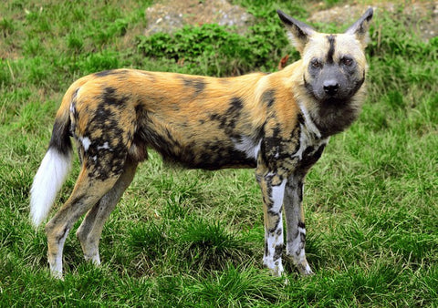 African Wild Dog tentree creative commons