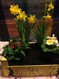 Daffodils in spring crate