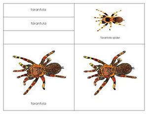 South America: Parts of a Tarantula Three Part Cards