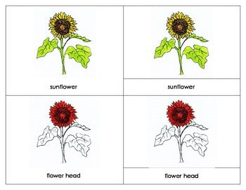 Sunflower Nomenclature Lesson