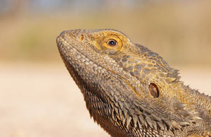 19 Frequently Asked Questions About Bearded Dragons