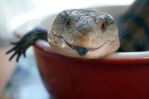The Best Food for Blue Tongue Skinks
