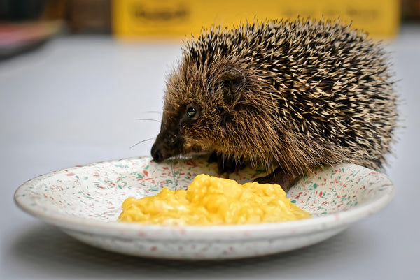 You can safely add duck, turkey, or chicken eggs to your African pygmy hedgehog diet.