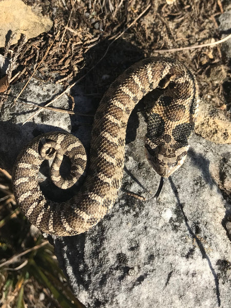 Caption: An Eastern hognose snake in Wisconsin. Photo taken by Alex Harman and uploaded to iNaturalist.