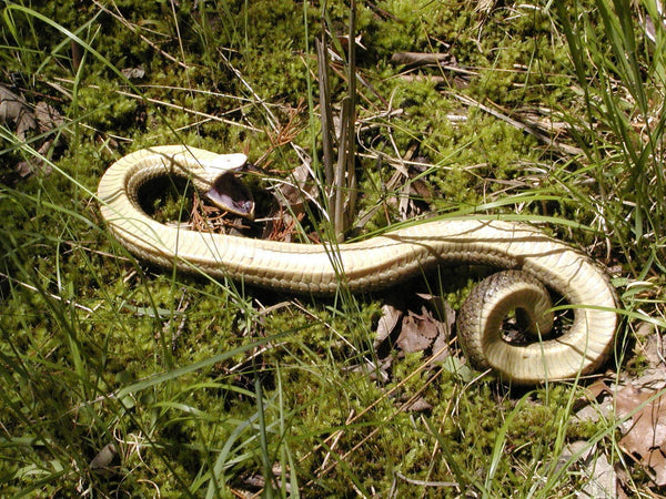An Eastern hognose snake playing dead in Arkansas. Photo taken by Kory Roberts and uploaded to iNaturalist.