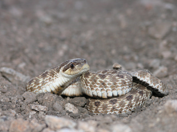 A Mexican hognose snake found in New Mexico. Photo taken by Jacob Malcom and uploaded to iNaturalist.