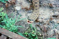 hognose snake eating