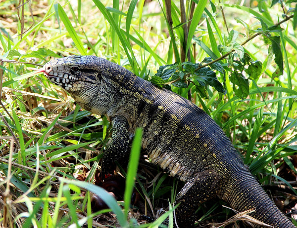 what are tegus? tegu feeding and tegu care