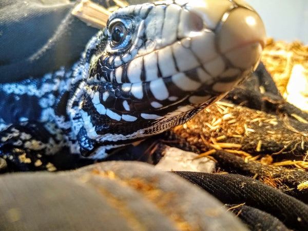 tegu intelligence