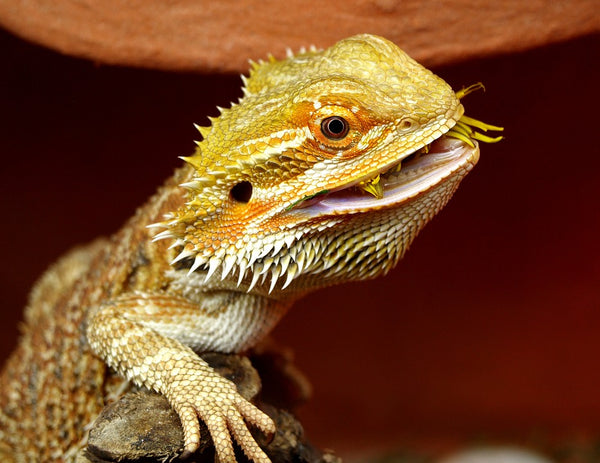 what can bearded dragons eat?