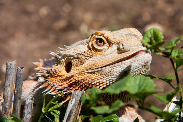 what vegetables can bearded dragons eat?