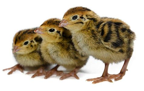 Quail Chicks (whole animal, vacuum sealed) - Reptilinks