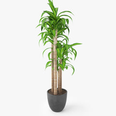 Dracaena Massangeana Potted Plant 3D Model