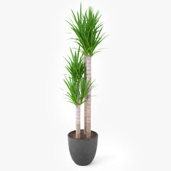 Yucca Elephantipes Potted Plant - Palm Tree 3D Model